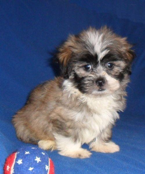 Dolan, male Teddy Bear HavaTzu puppy for sale in Ohio