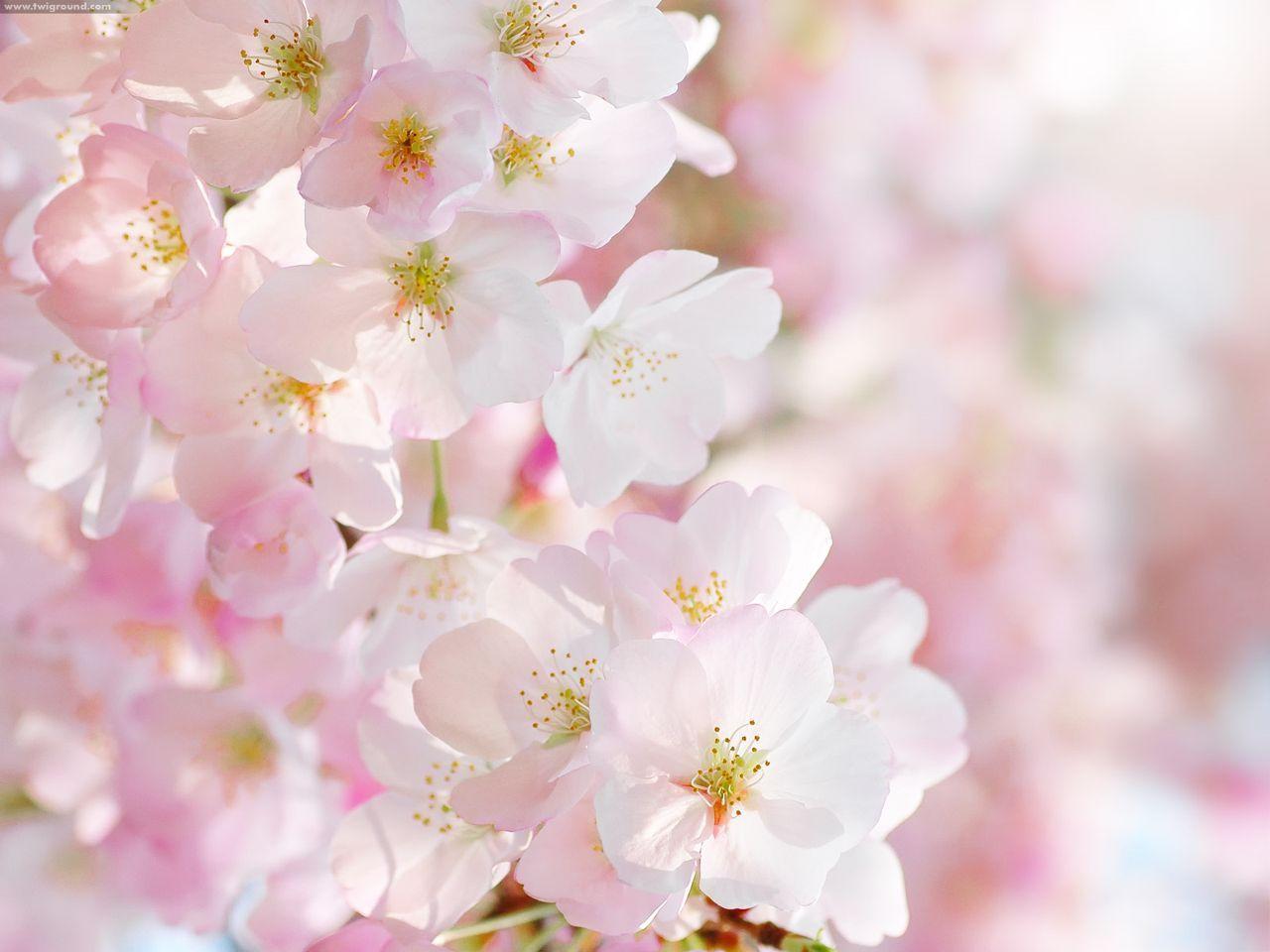 Những hình ảnh hoa anh đào làm hình nền đẹp lộng lẫy - Blog hoa đẹp