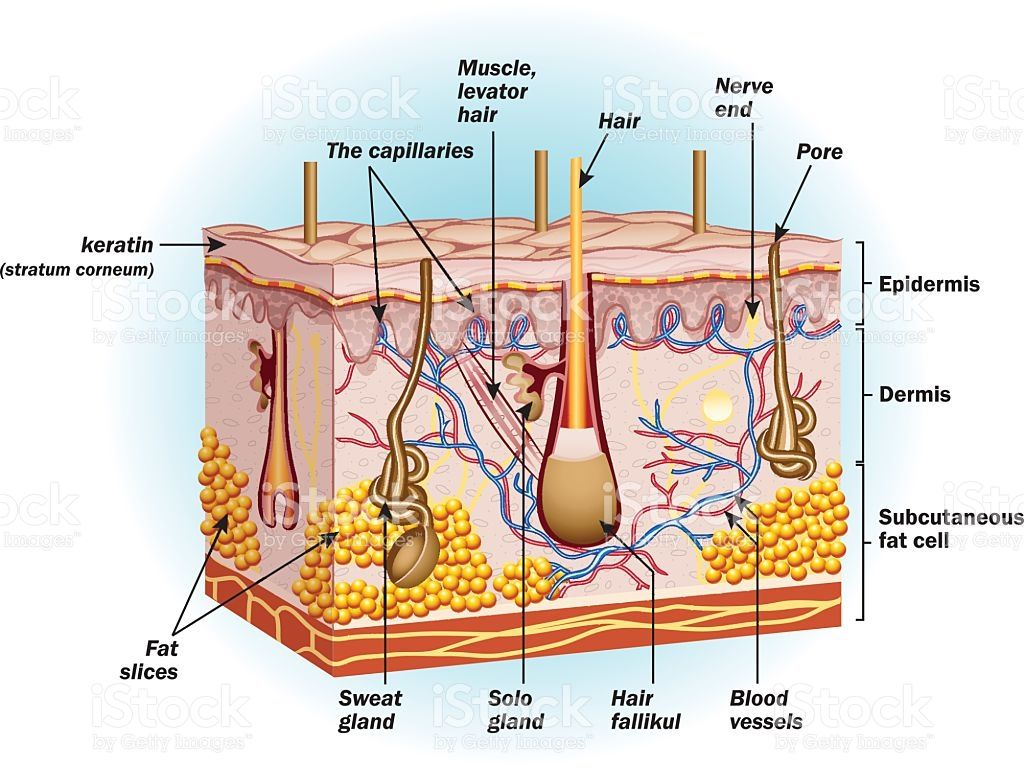 The Structure Of Human Skin Cells Eps10