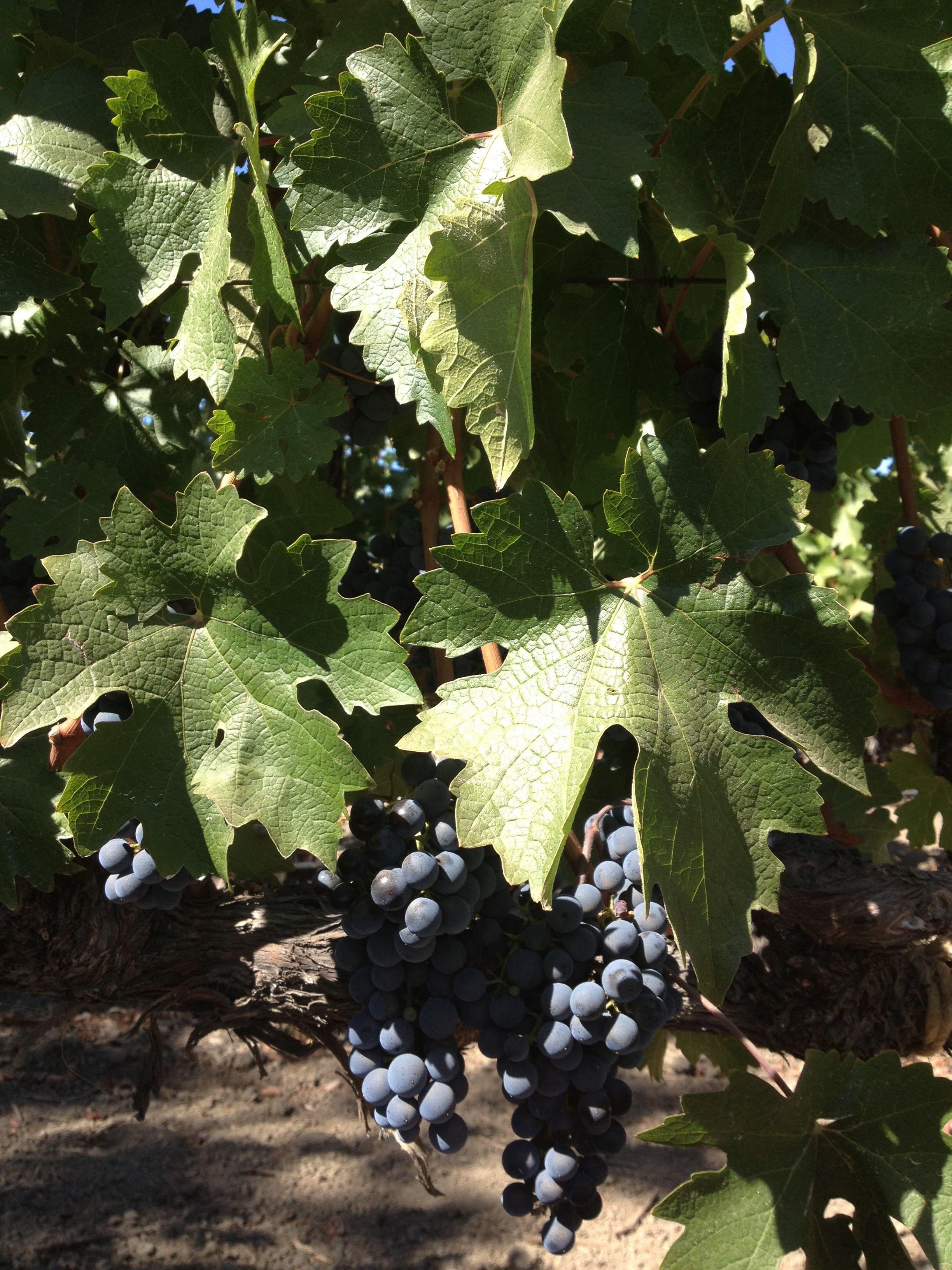 Cab grapes -Napa Ca