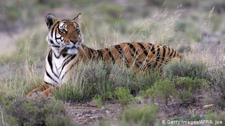 Der südchinesische Tiger wurde in freier Wildbahn schon