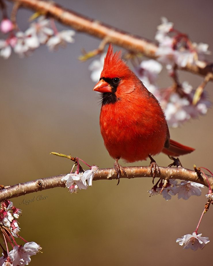 """""""Red Cardinal"""" by angelcher333 