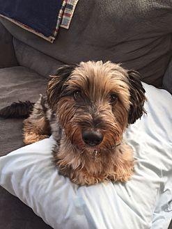 Hermitage Tn Dachshund Mix Meet Cubby A Dog For Adoption