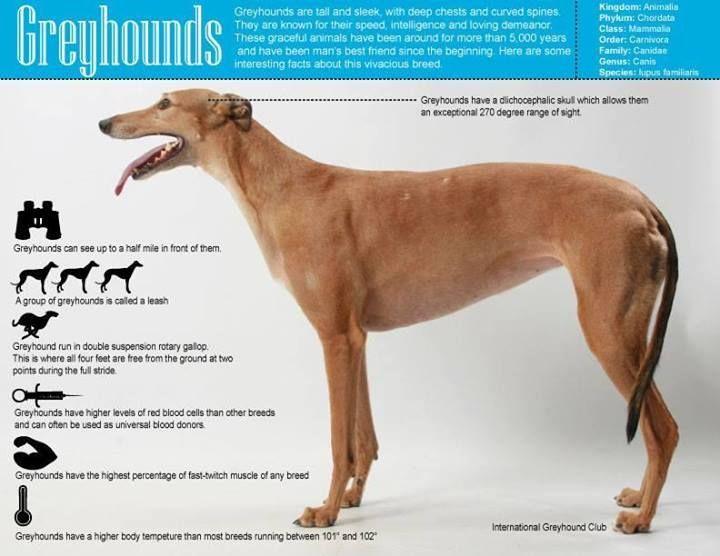 Greyhounds An Amazing Breed Greyhound Grey Hound Dog Dogs