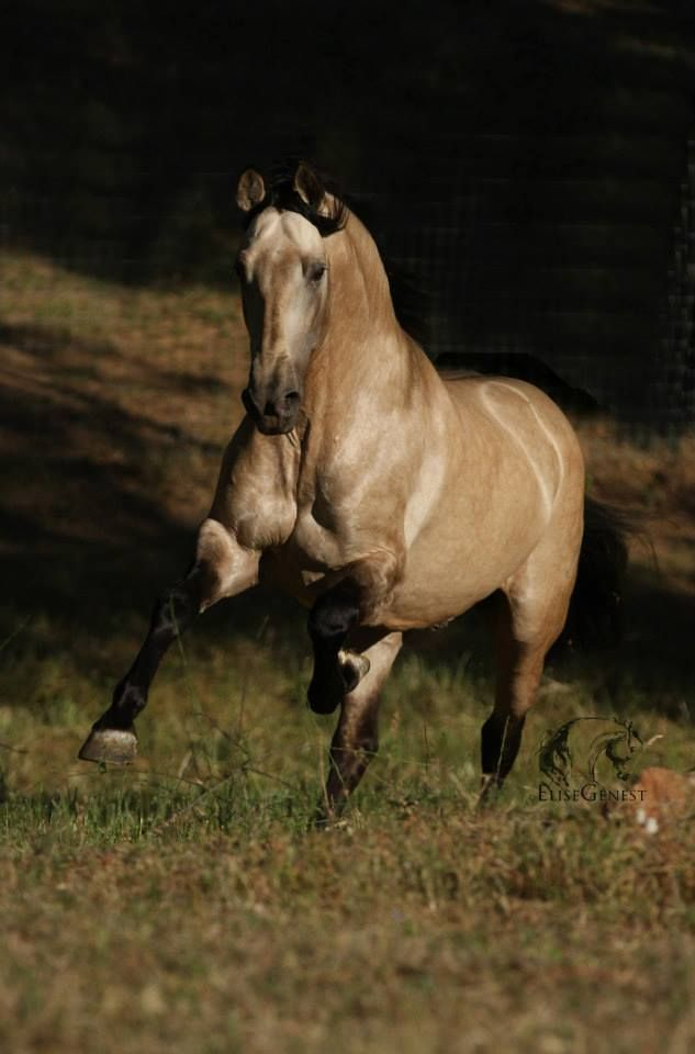 Tuno PM - photo by Élise Genest What a magnificent stallion!