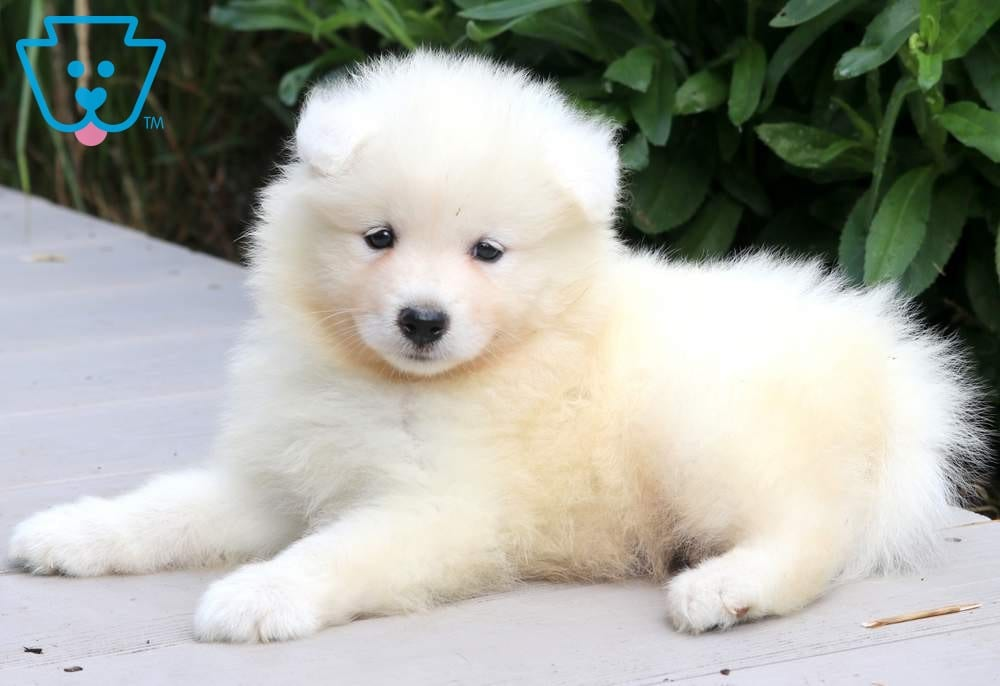 Randy Samoyed Puppies For Sale Samoyed Puppy Puppies