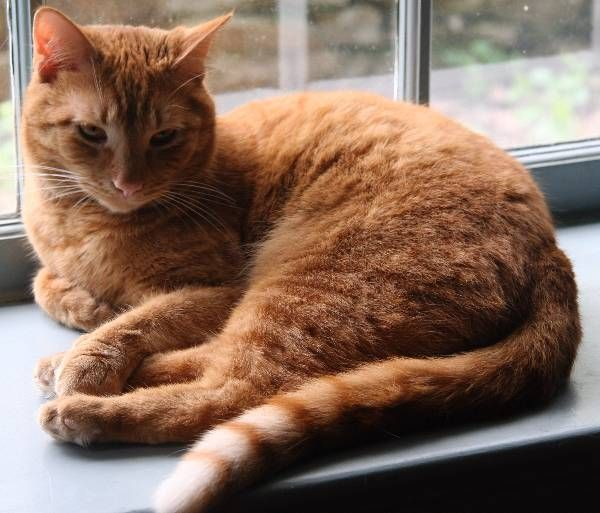 Lost Cat American Shorthair In Coatesville Pa Lost My Kitty American Shorthair Cat American Shorthair Cats