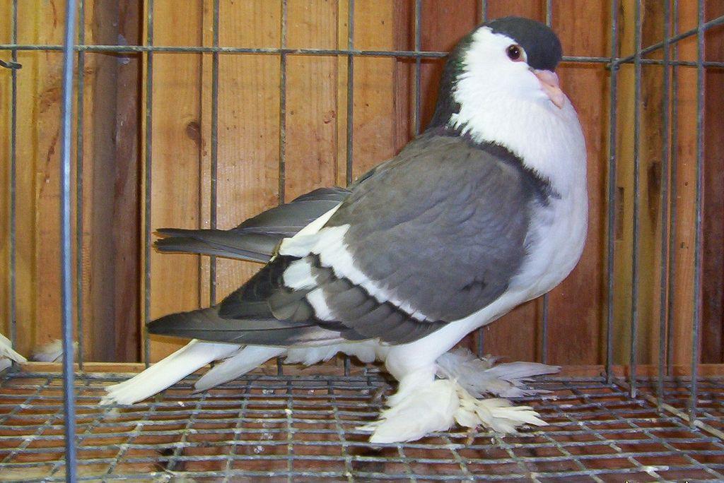 Blue White Bar Lahore Pigeon Animaux Et Animaux De La Ferme
