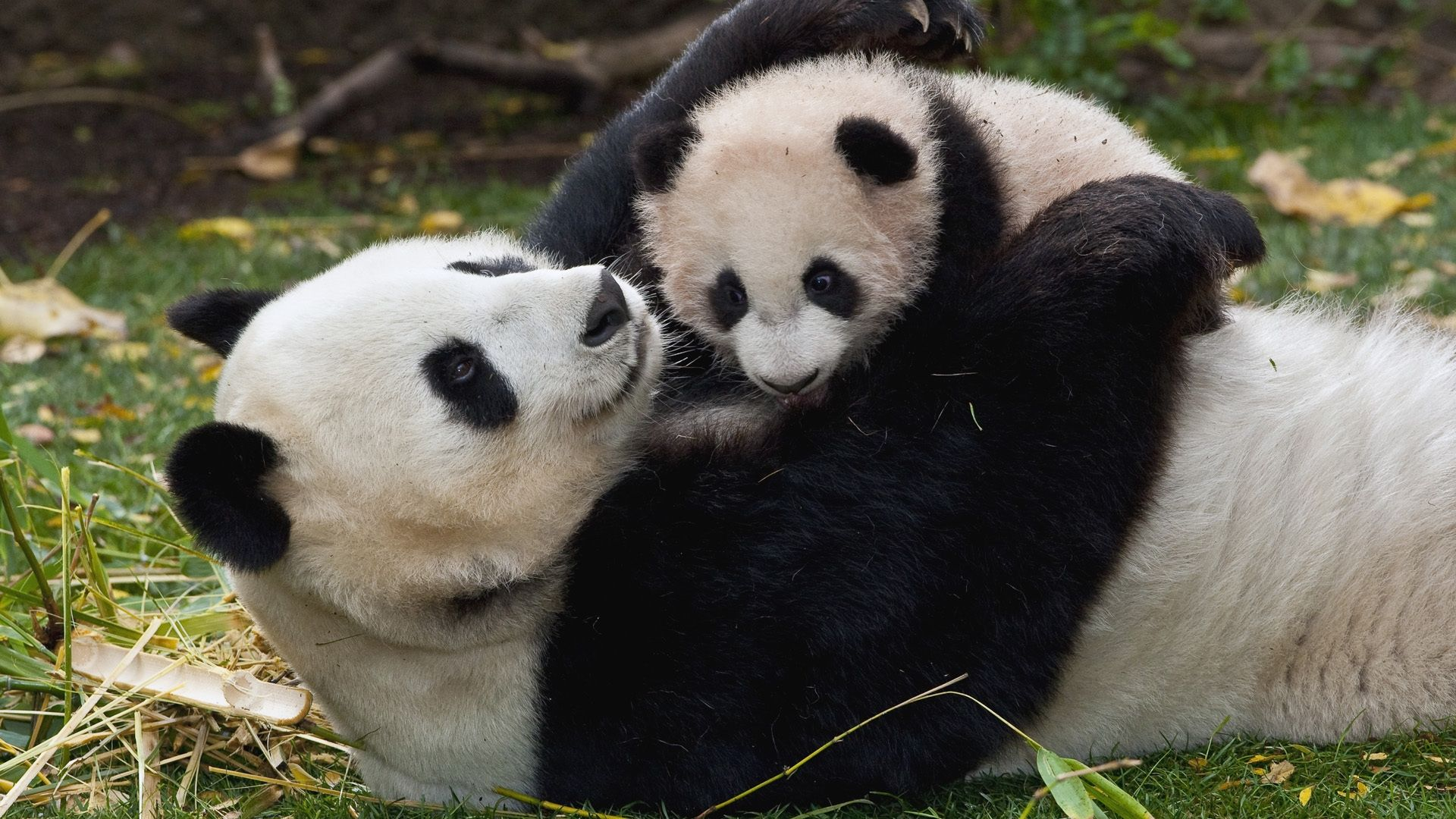 20 Best Panda Wallpaper For Your Desktop