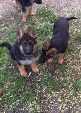 German Shepherd Dog Puppy For Sale In Houston Tx Adn 25766 On