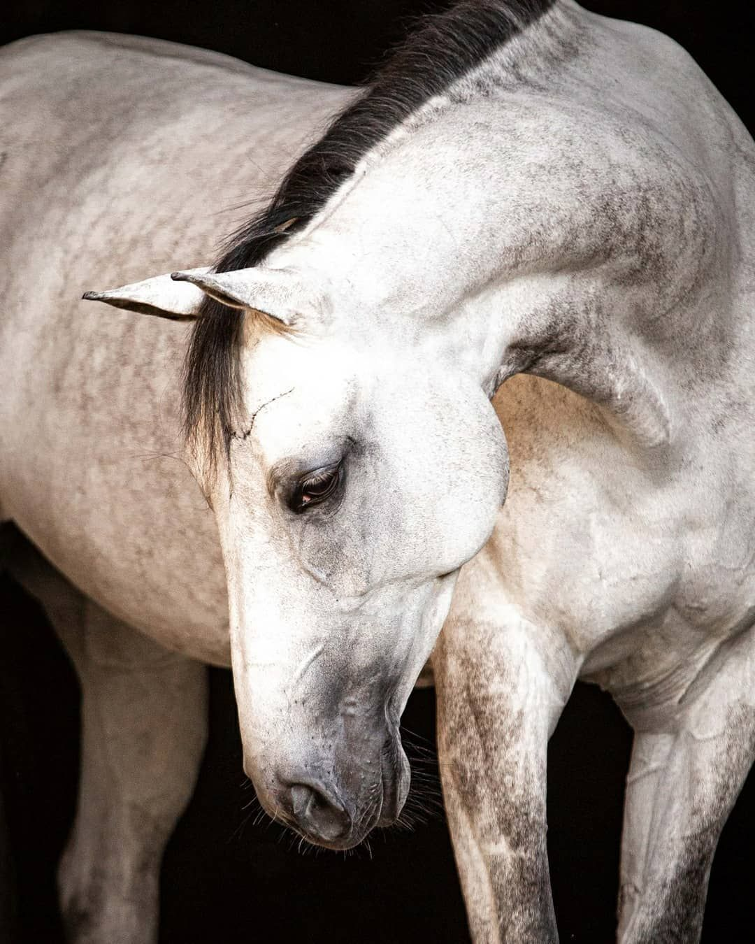 "Evelyn Szczepanek on Instagram: ""Let's chat about prepping your horse for their black & white background portraits. Your horse should be squeaky clean with bright whites…"""
