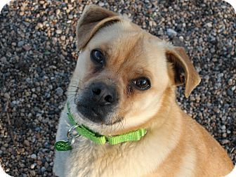 Newell Ia Pug Beagle Mix Meet Otis A Dog For Adoption Http Www Adoptapet Com Pet 17926216 Newell Iowa Pug Mix Pets Pug Beagle Mix Dog Adoption