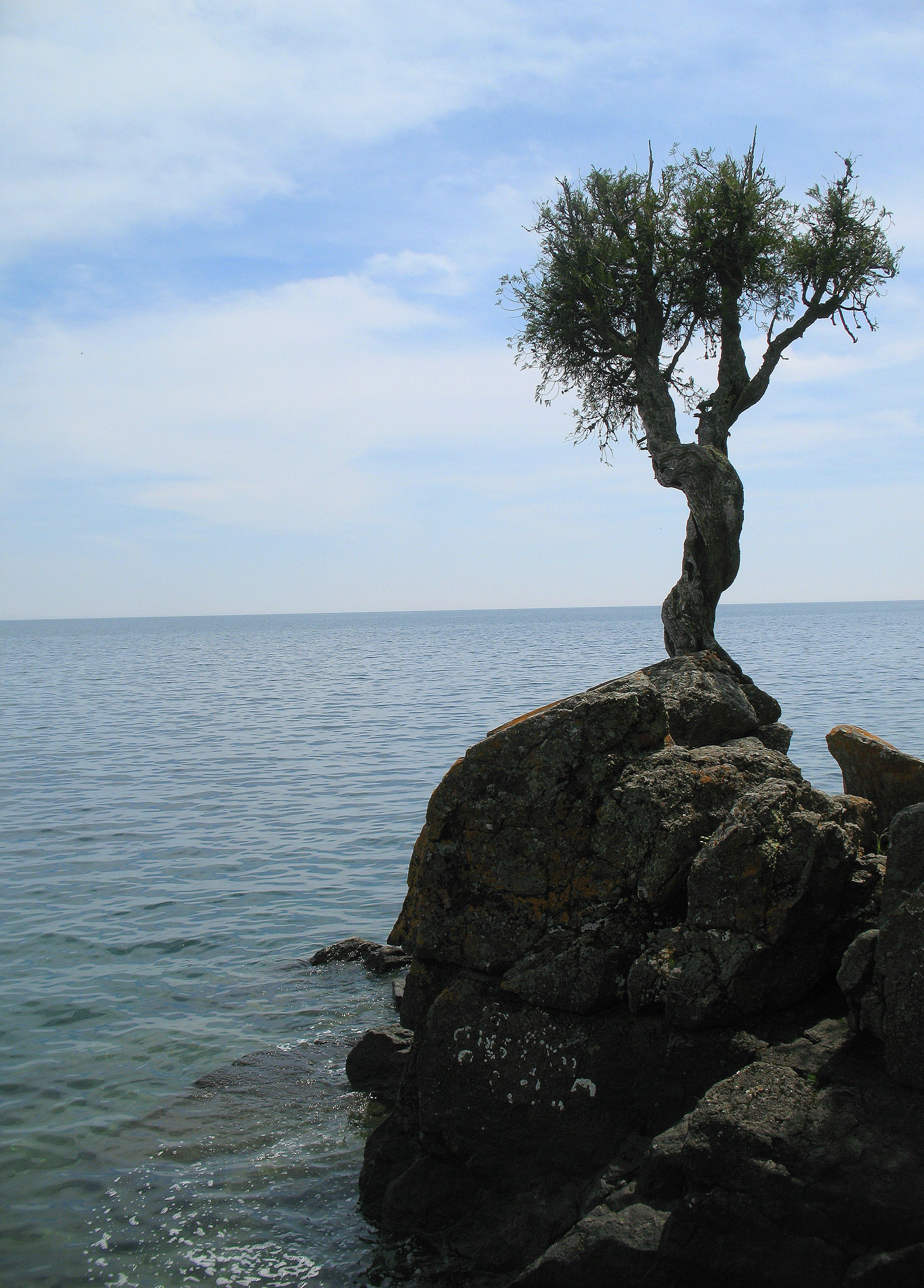 The Witch Tree Also Known As The Little Spirit Cedar Tree