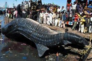 Whale Shark Hauled-in by Fishermen Measured 36 Feet Long..... Whale shark? Say what....?!