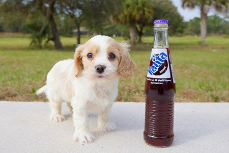 Cavachon Puppies To Adopt In Florida And South Florida Adopt Near Sarasota Tampa Daytona Orlando Fort Myers Fort Lauderdale Miami And Naples