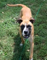 Bo Duke Is An Adoptable Boxer Dog In Bloomington Mn Age 8 Months As Of July 23rd Breed Boxer Mastiff Weight 40 Pounds Boxer Dogs Dog Friends Cat Friendly