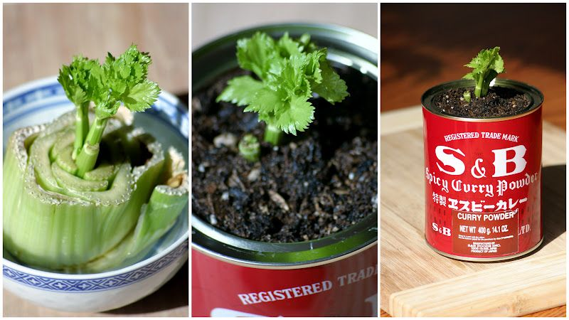 Dream state regrow your celery growing celery lawn