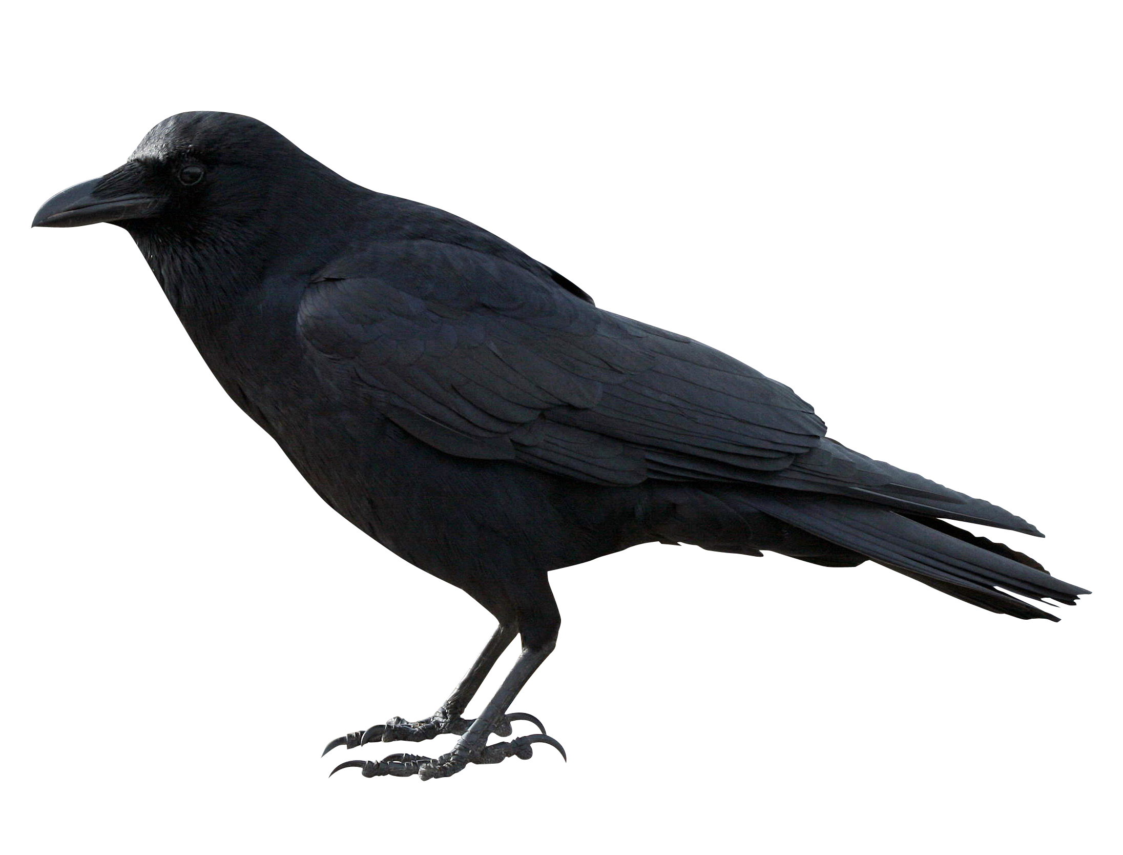 Crow Black Png Image Animals Gothic Aesthetic Crow