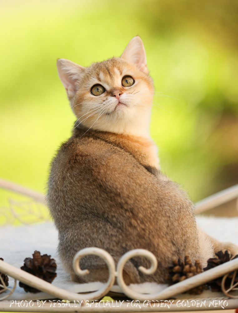 British Shorthair Blue Golden Shaded Cats And Kittens British