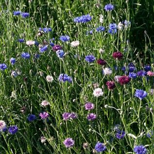 More Bachelor Buttons I Love That Dark Blackish Purple Wildflower Seeds Bachelor Buttons American Meadows