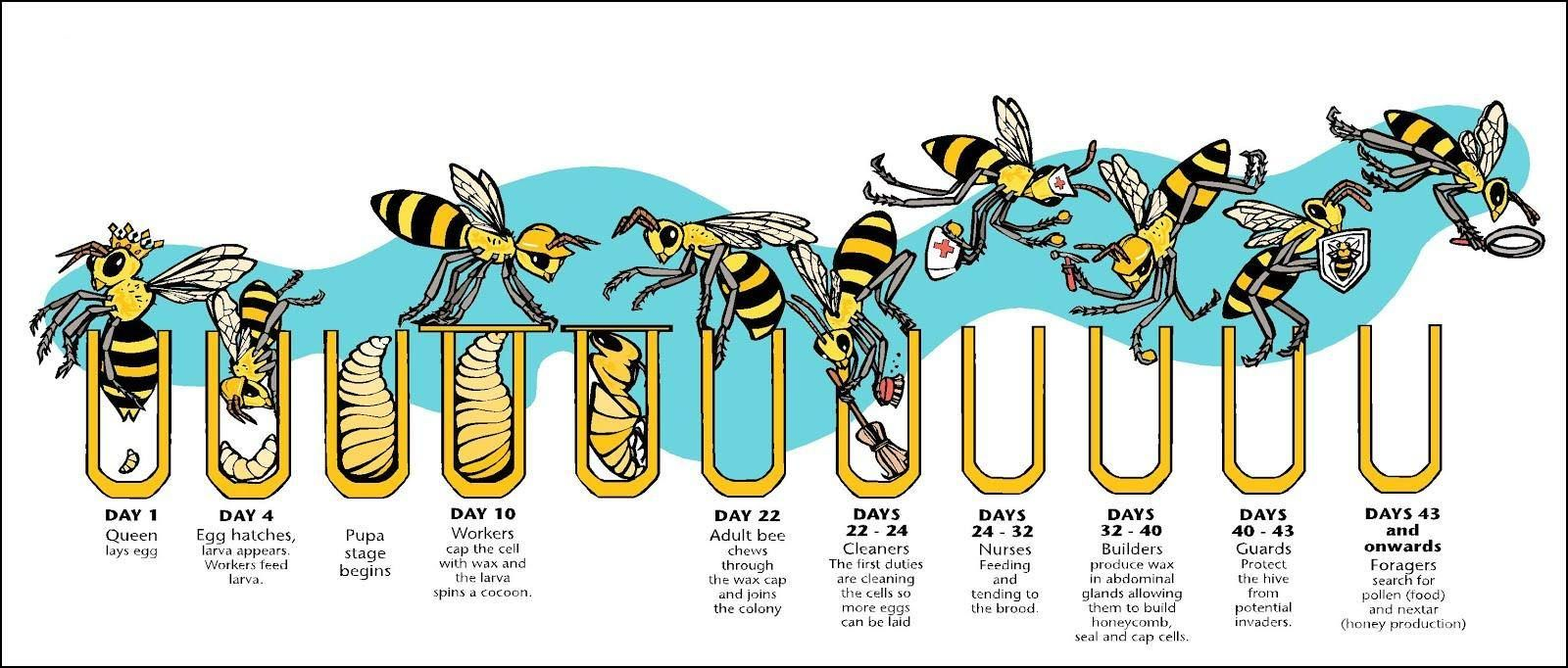 End of the Drone Bee Lifecycle