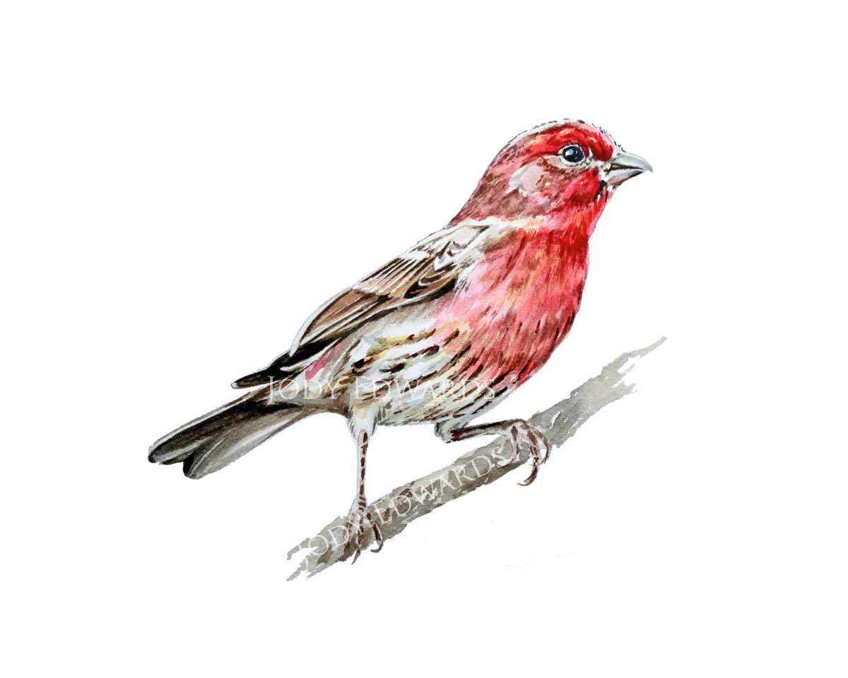 House Finch Archival Quality Print Bird Watercolor Paintings Bird Art Watercolor Bird