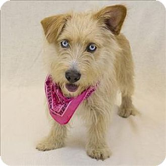 Westland Mi Norwich Terrier Dachshund Mix Meet Emma A Dog For