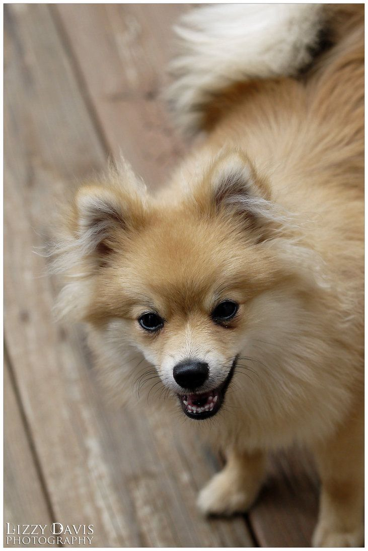He Is A 6 Month Old Pomeranian And Getting Him To Hold Still Is Near Impossible Pet Portraits Pets Animal Photo