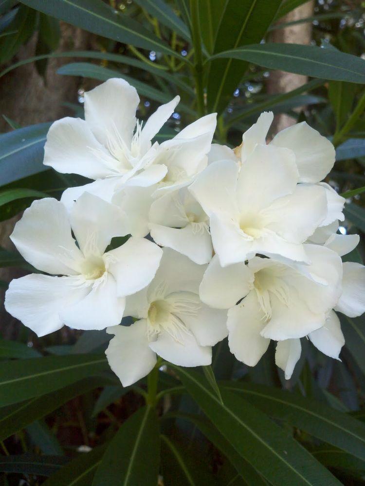50 seeds white oleander nerium oleander shrub tree seeds - Nerium oleander ...