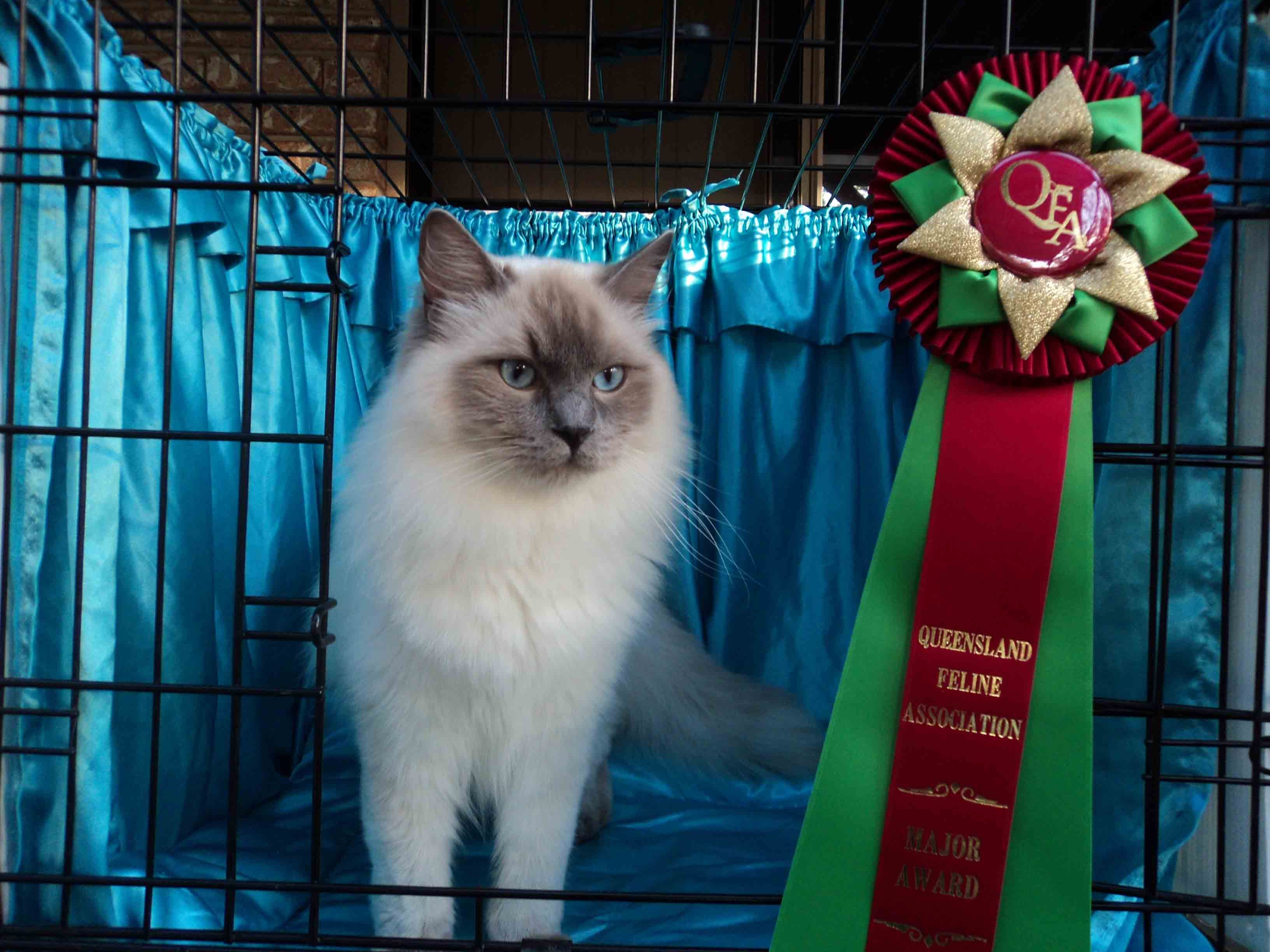 Utah Ragdolls Victorian Treasure Ragdoll Cattery Ragdoll Cats