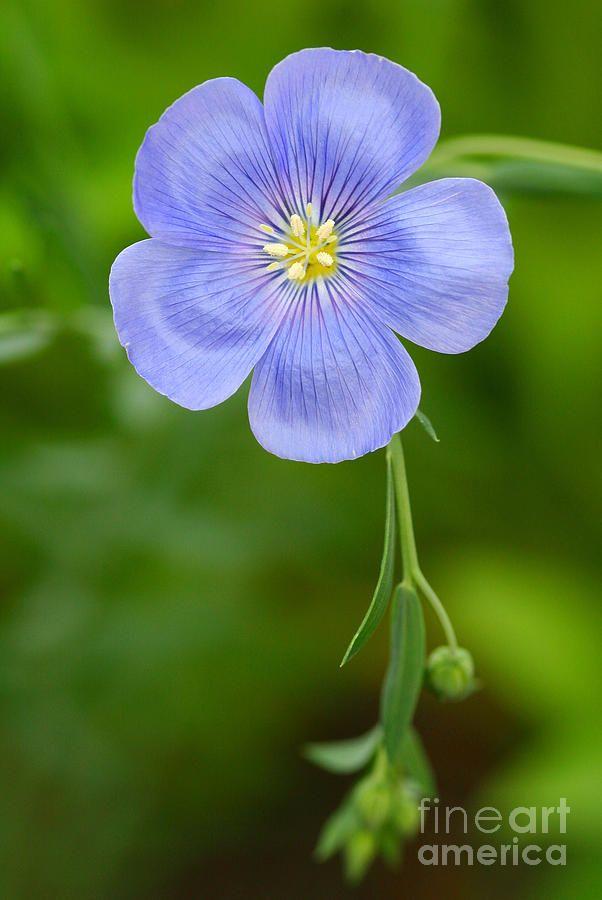 Single Flower Blue Flax by Steve Augustin #blueflowerwallpaper