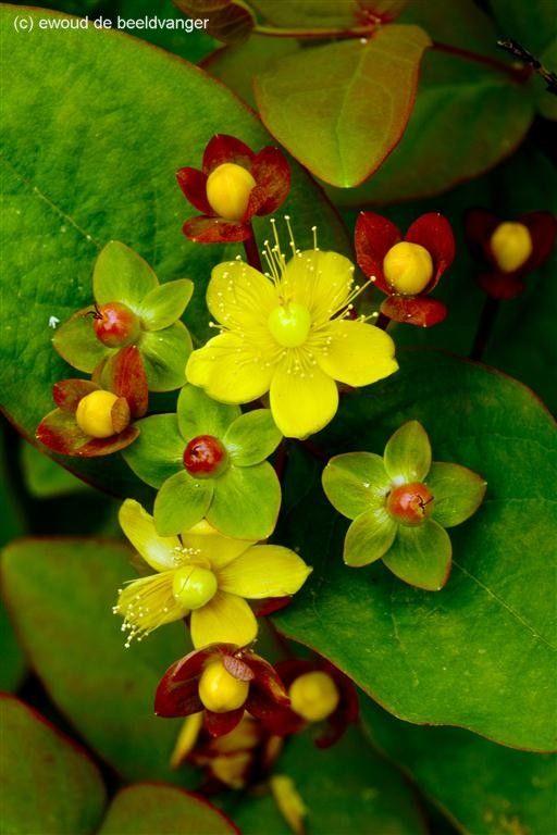 Hipérico amarillo