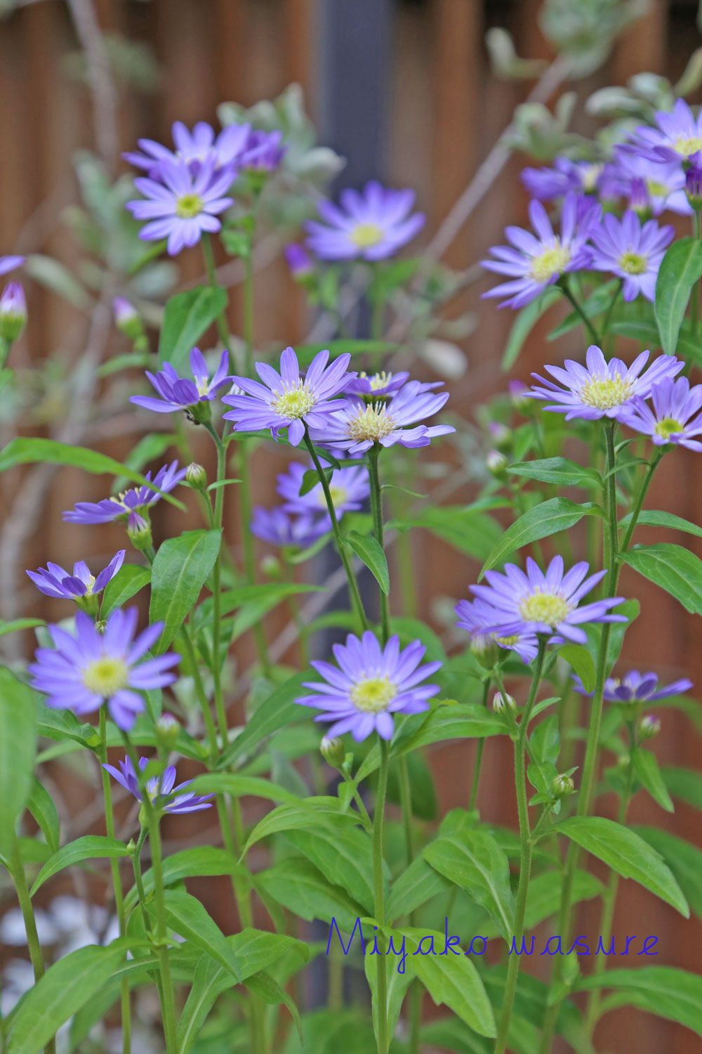 Asters Month Flowers Birth Month Flowers Flowers