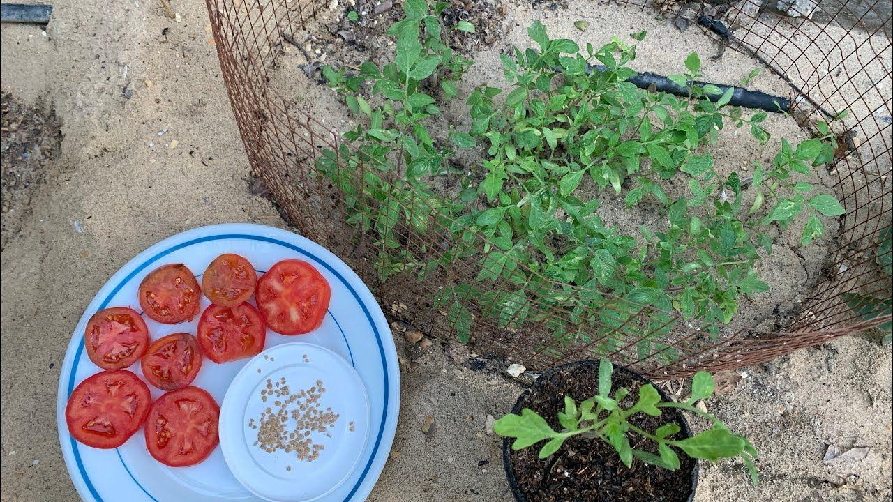 أسهل طريقة لزراعة الطماطم من البذور من حبة طماطم موجودة عندنا في البيت Youtube Frisbee