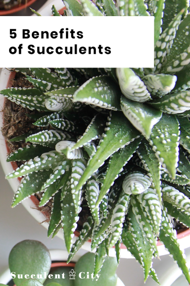 5 Main Benefits Of Succulents In Your Home Planting Succulents Small Succulent Plants Succulents