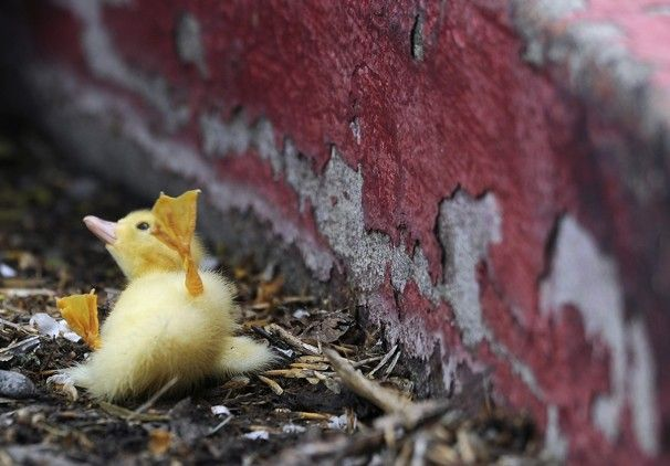 A duckling falls while trying to climb a curb near Ellis Lake in Marysville, Calif.