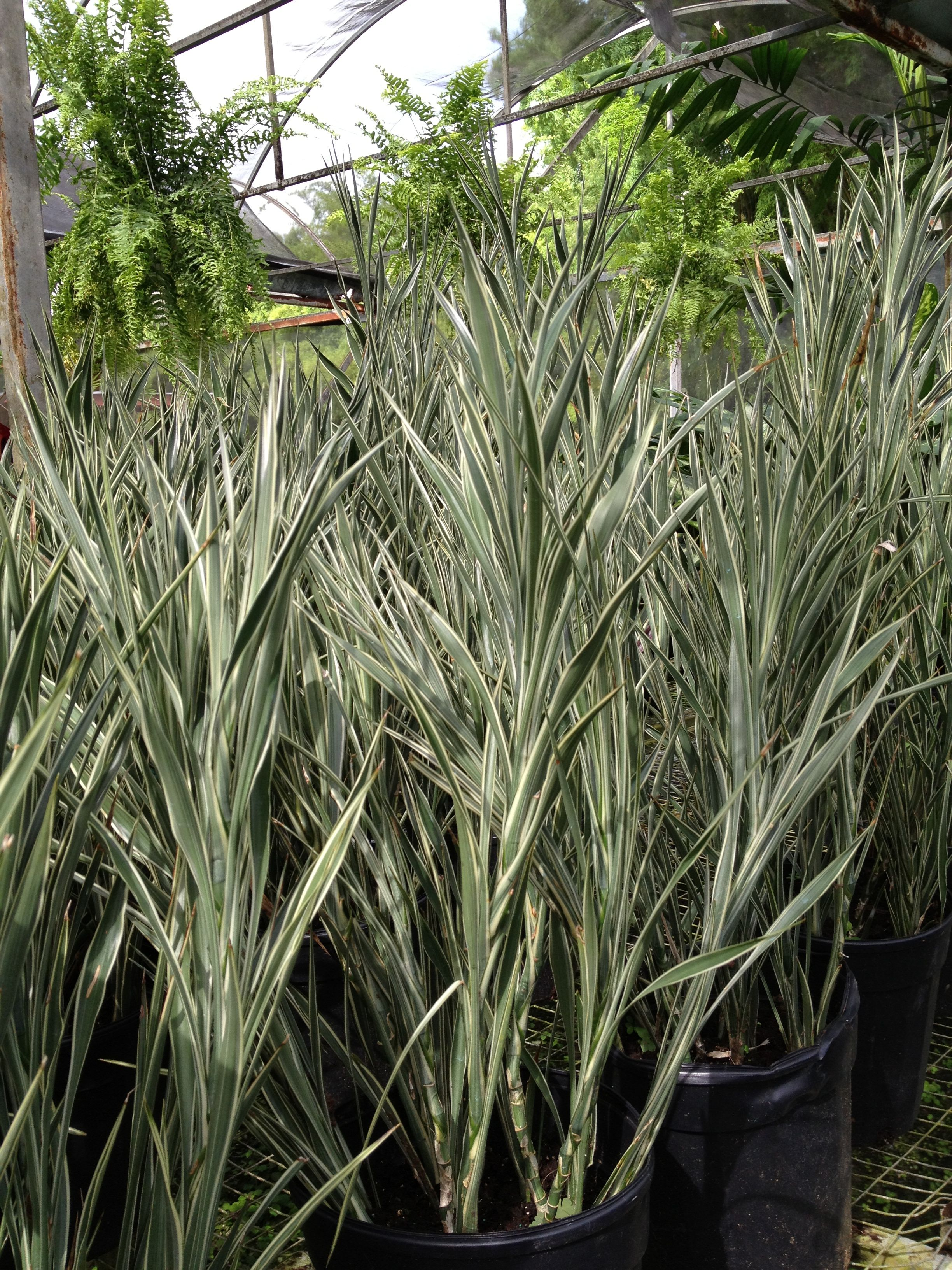 Plantas de interior plantas ornamentales pinterest for Plantas ornamentales croto