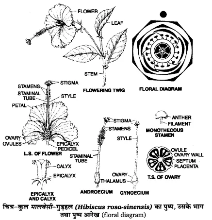 Up Board Solutions For Class 11 Biology Chapter 5 Morphology Of Flowering Plants Https Www Upboardsolutions Com Class 11 Biology Biology Syllabus Morphology
