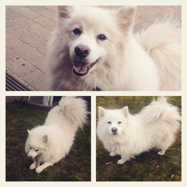 """R.I.P. dejligste Chico  Håber du er et bedre sted nu ❤️ #rip #chico #duvilblivesavnet #elskerdig #dejligehund #japanskspidshund"" Photo taken by @frejasolvej on Instagram, pinned via the InstaPin iOS App! http://www.instapinapp.com (04/26/2015)"