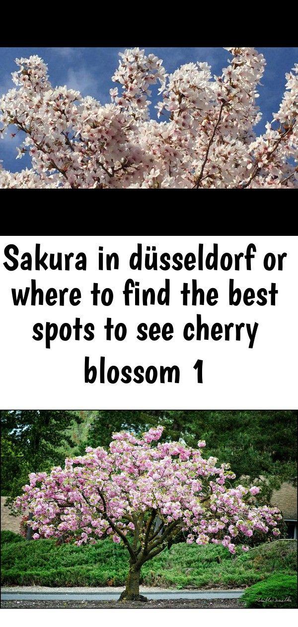 Cherry Blossom Dusseldorf Travel Germany Solo Sakura Hanami Online Orchards Kwanzan Cherry Blos Cherry Blossom Bonsai Tree Bonsai Tree Care Cherry Blossom