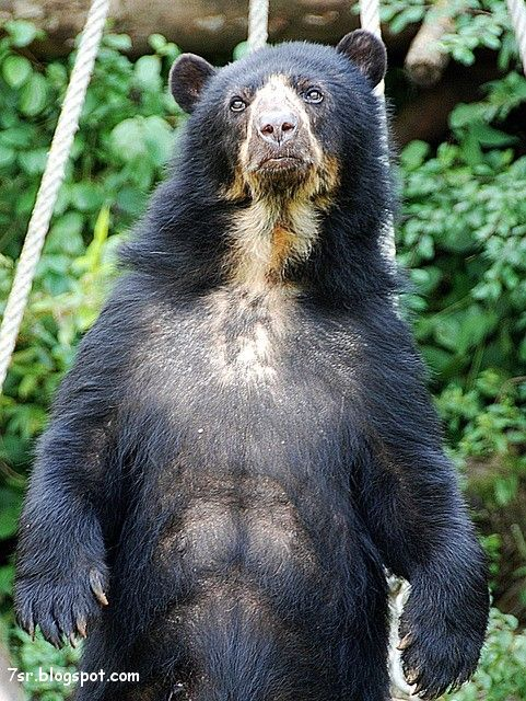 صور الدب Spectacled Bear Bear Pictures Bear
