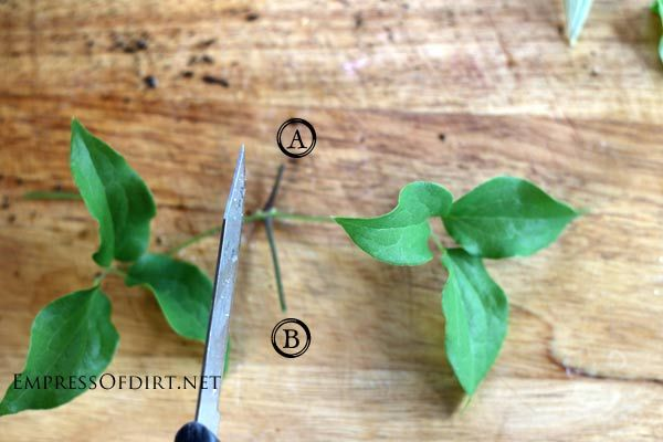 How To Grow Clematis From Cuttings Empress Of Dirt Clematis Clematis Plants Plant Cuttings