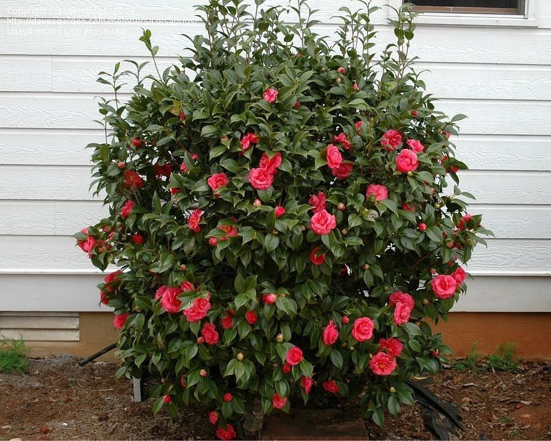 Camellia Japonica Japanese Camellia Zone 7 Flower Colors Pink White Red In 2020 Indoor Flowering Plants Camellia Plant Garden Yard Ideas