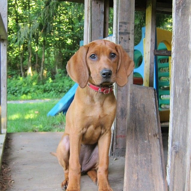 Pin On I Love Redbone Coonhounds