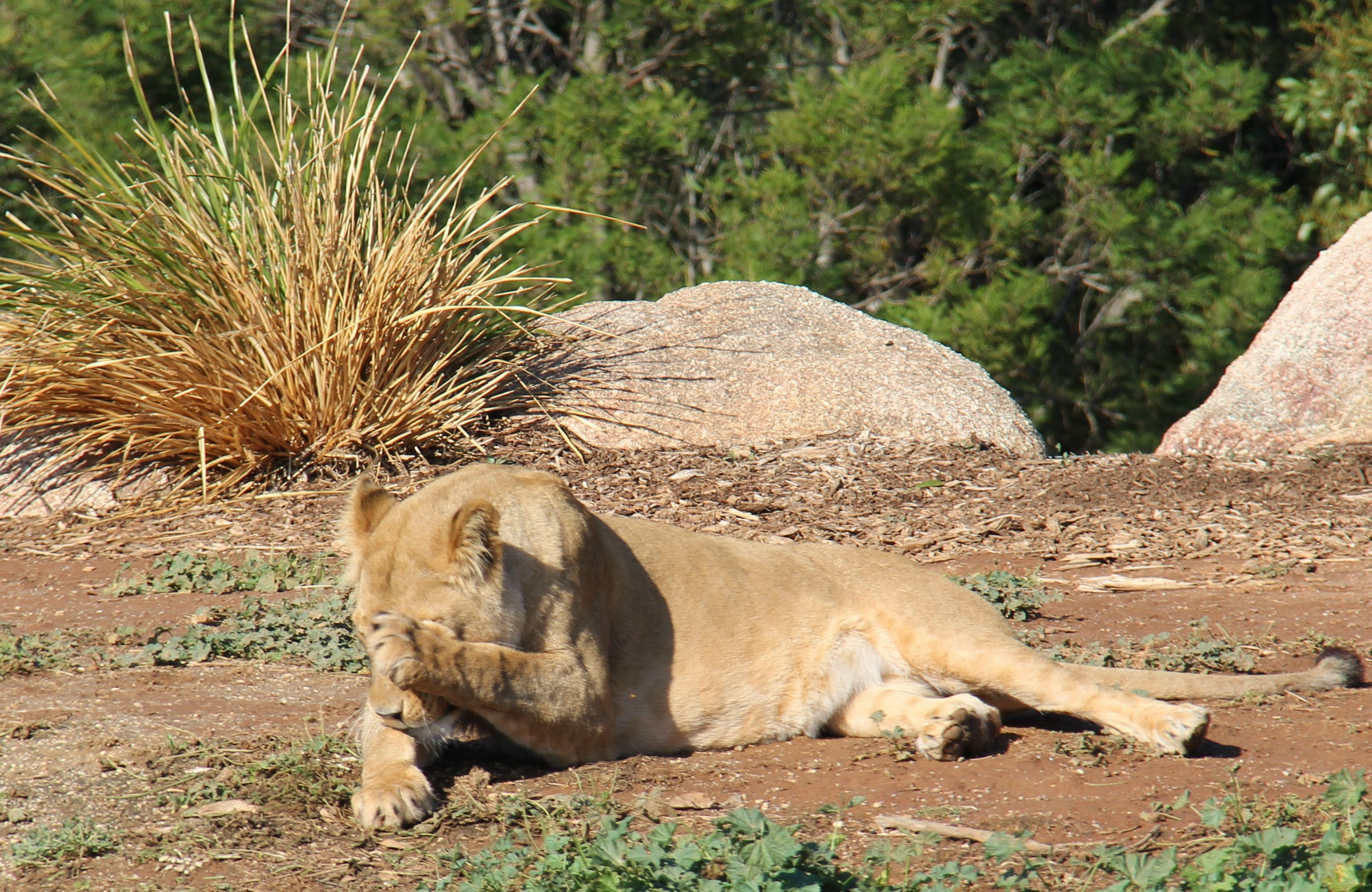 Wake me up when it's Friday! Lioness Niribi at Werribee Open Range Zoo takes a well deserved nap in the sunshine