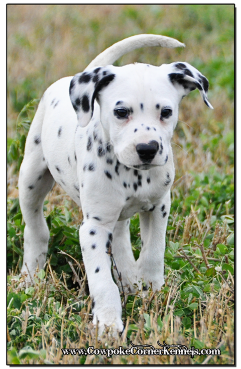 Wyoming Ranch Raised Dalmatians Happy Healthy And Ready To Play
