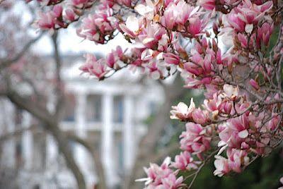 Tulip Magnolias Magnolia Liliiflora At The White House In