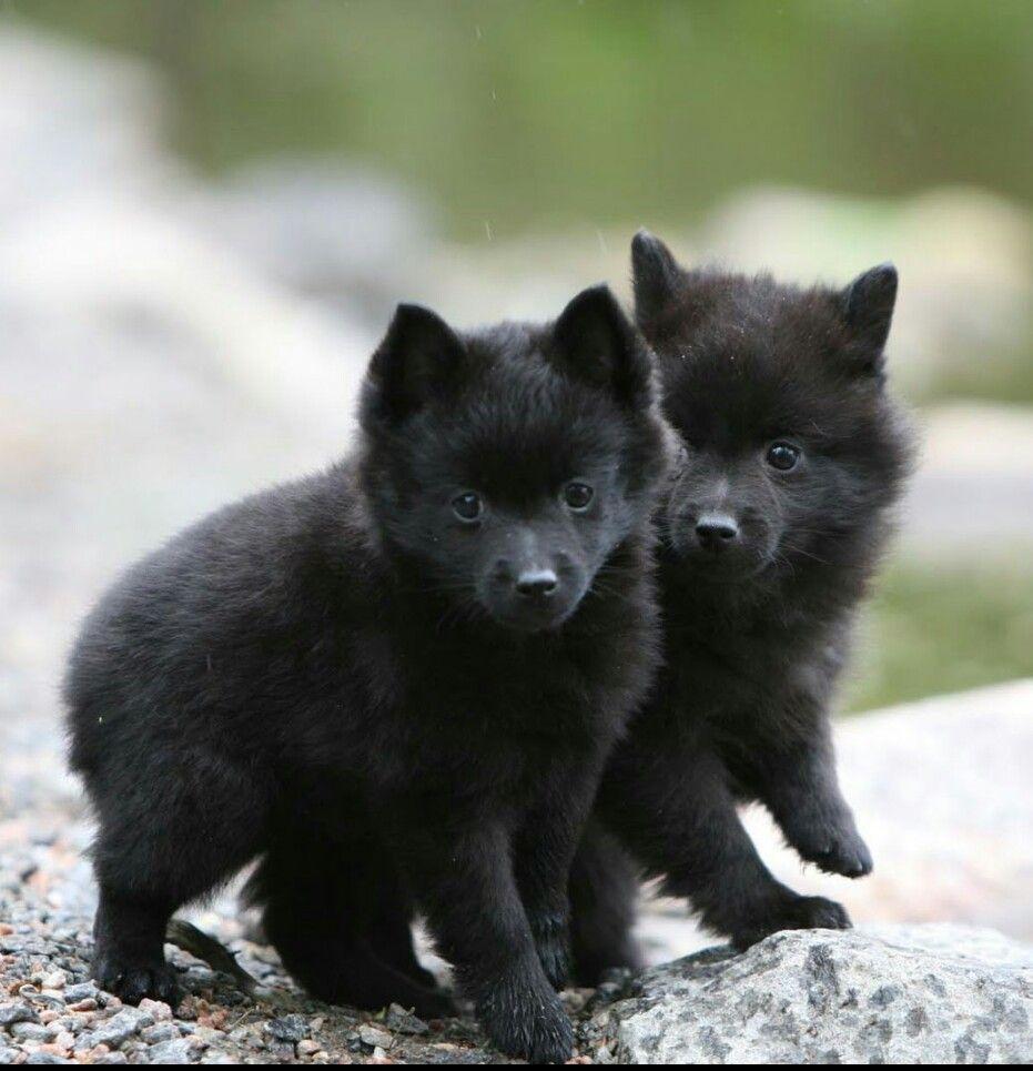 Beautiful Wolf Chubby Adorable Dog - 2ce1aed1dd6a66f63c94dec49ae40ef4  Graphic_614077  .jpg