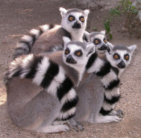 Lemurs are one of my favourite animals.