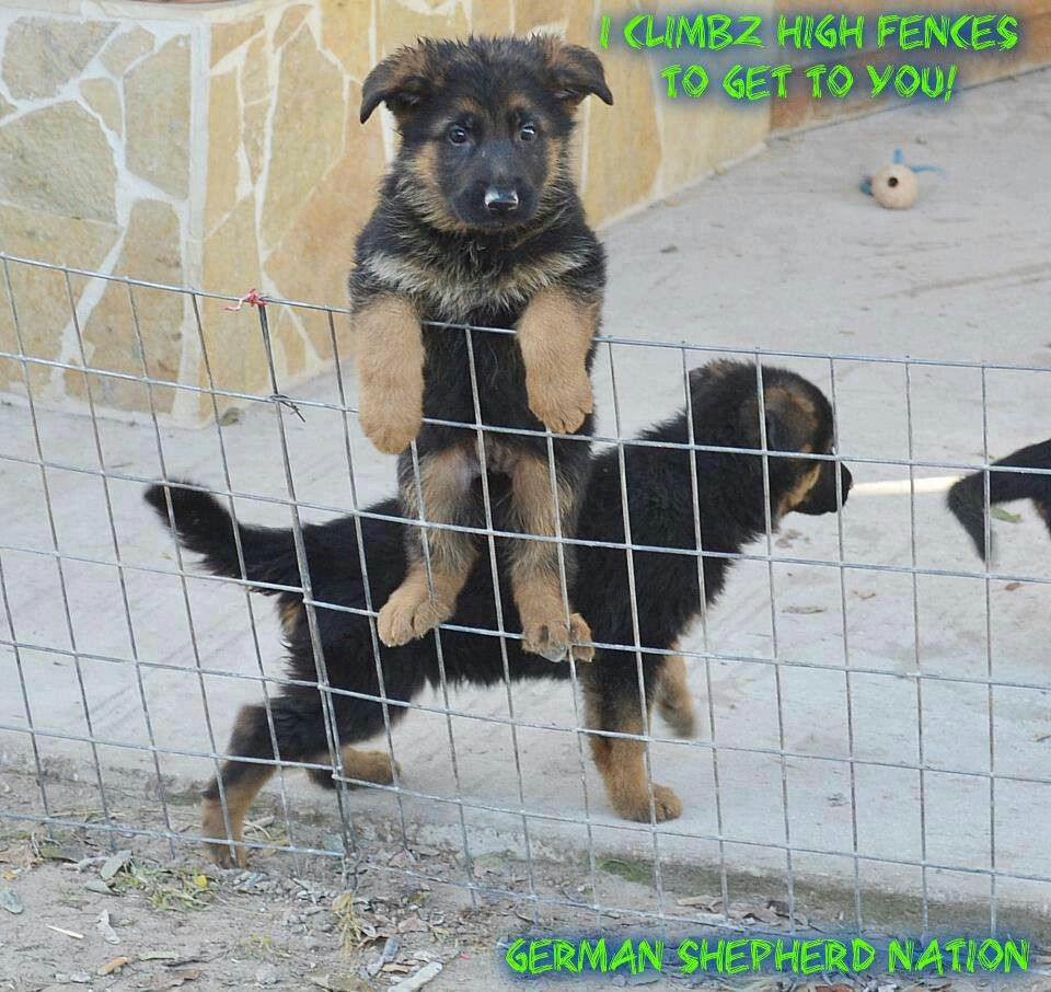 German Shepherds Clever Escape Artist Always The Sign Of An